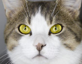 Yellow cat's eyes — Stock Photo