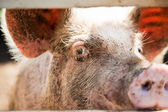 Close-up of a pig — Stock Photo
