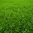 Texture overgrown clover — Stock Photo