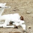 White Guanaco — Stock Video