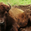 American Bison resting on ground - Stock Photo