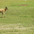 Cape Eland walking - Stockfoto