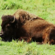 American Bison resting on ground — Stock Video