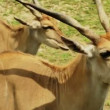 Cape Eland — Stock Video