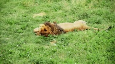 Lion Sleeping and moving the Tail — Stock Video