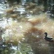 Ducks swim — Vídeo de stock #24241575