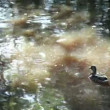 Ducks swim — Vídeo de stock #24252823