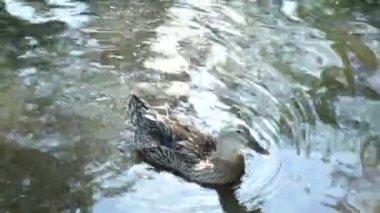 Ducks swim — Stock Video