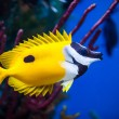 Stock Photo: Onespot Foxface Rabbitfish Closeup in Saltwater Aquarium