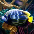Imperial Anglefish Closeup in Saltwater Aquarium — Stock Photo