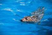 Calmare il sigillo nuoto in acqua blu — Foto Stock