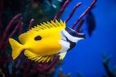 Onespot Foxface Rabbitfish Closeup in an Saltwater Aquarium — Foto de Stock
