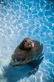 Tricheco divertente in piscina guardando la telecamera — Foto Stock