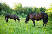 Side View of two Strong Horses in a Field — Stock Photo