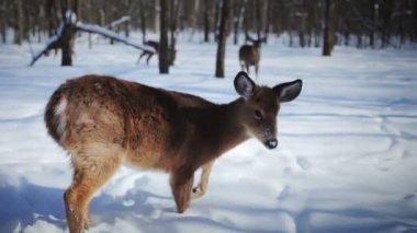 Deers in Nature with his Winter Coat — Stock Video