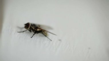 Nasty Housefly on a Window Pane — Stock Video