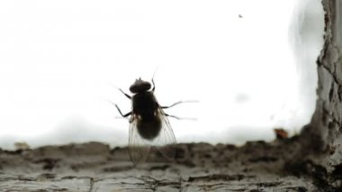 Nasty Housefly on a Window Pane — Vídeo Stock