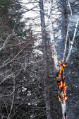 Birch on Fire after after a Lightning — Stock Photo