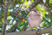Northern Mockingbird Perched in the Thicket — Stock Photo
