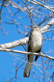 Northern Mockingbird Perched HIgh on a Sunny Winter Day — Stock Photo