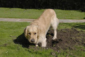 Golden Retriever dog digging hole — Stock Photo