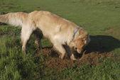Golden Retriever dog digging hole — Photo