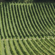 English Vineyard. Surrey. England — Stock Photo