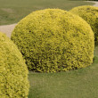 Topiary yew bushes in english country garden — Stock Photo