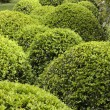 Stock Photo: Topiary bushes in English garden