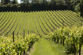 Vineyard in Surrey. England — Stock Photo