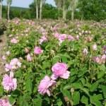 Rose garden — Stock Photo #23213088