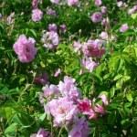 Rose garden — Stock Photo #23213188