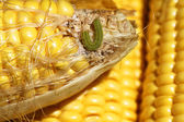 Worm on organic maize — Stock Photo