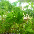 Young shoots of parsley and fennel — Stockfoto