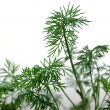 Stock Photo: Young shoots of fennel