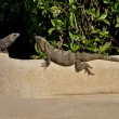 Stock Photo: Two lizards are basked in sun