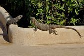 Two lizards are basked in the sun — Stock Photo