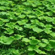 Glade from burdock plants for a background — Stock Photo