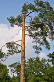 Old pine against the sky — Stock Photo