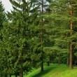 Coniferous trees in park — Stock Photo