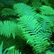 Green fern closeup for background — Stock Photo #29826953