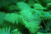 Green fern closeup for a background — Stock Photo