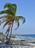 Palm tree on the stony seashore — Stock Photo