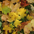 Leaves of a maple on the autumn earth — Stock Photo