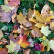 Background from multi-colored leaves of a maple — Stock Photo