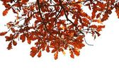Oak branch with autumn leaves — Stock Photo