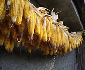 Bundle from corn ears — Stock Photo