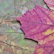Texture of dried maple leaf — Stock Photo #41083837