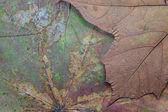 Texture of the dried maple leaf — Stock Photo