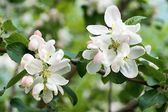 White flowers on branches appletree — Stock Photo